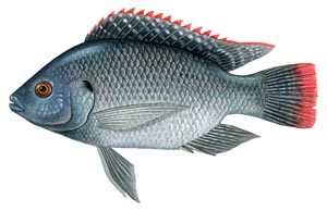Live Pure Strain Blue Tilapia For Sale