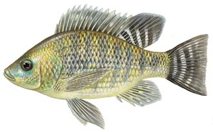 Live pure strain Nile tilapia for sale.